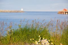 Grass and daisies camomile against the blue sea and sky. Landscape of the village Andenes in Norway royalty free stock photography