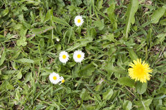 Grass With Daisies Dandelion and Weeds. Grass With Daisies Dandelions and Weeds stock photography