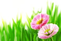 Grass with daisy Stock Photo