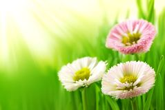 Grass with daisy Stock Image