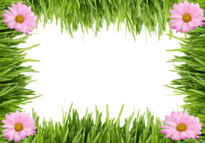 Grass and daisy background Royalty Free Stock Images