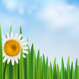 Grass with daisy flower and blue sky. Vector illustration with empty space square Stock Images