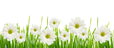 Grass and daisy flower edge Stock Photos