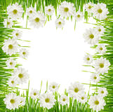 Grass and daisy flower frame Royalty Free Stock Image