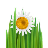 Grass with daisy flower vector square. Grass with daisy flower vector illustration with empty space square Royalty Free Stock Photos