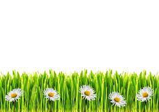 Grass and daisy flowers Stock Image