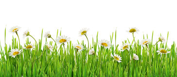Grass and daisy flowers row Royalty Free Stock Images