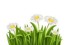 Grass with daisy Stock Images