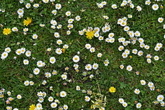 Grass with daisys Royalty Free Stock Image