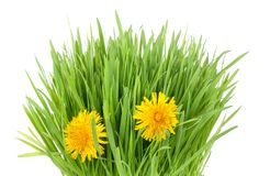Grass and dandelion. Fresh grass tuft with two dandelion flowers isolated on white stock photos