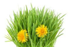 Grass and dandelion Stock Photos