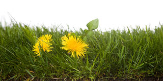 Grass with dandelion. Strip of grass with dandelion, dirt, and roots isolated on white background Royalty Free Stock Image