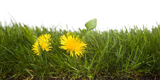 Grass with dandelion. Strip of grass with dandelion,  isolated on white background Royalty Free Stock Image