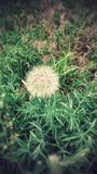 Grass and a Dandelion. In Colorado Springs, Colorado Royalty Free Stock Images