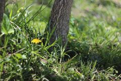 Grass, Dandelions, and Grey Tree Trunk stock photos