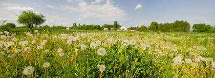 Grass and dandelions Royalty Free Stock Image