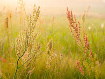 Grass at dawn. Grass in the meadow at dawn Royalty Free Stock Photo