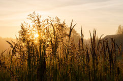 Grass at dawn. Grass in the meadow at dawn Stock Photography