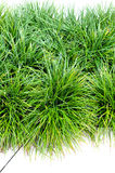 Grass for decor Stock Image