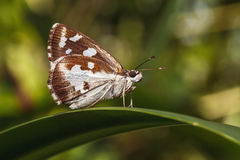 The Grass Demon (Udaspes folus) butterfly. Is small Butterfly . The Wings have white spot on upside. This Butterfly Type can find in Thailand Stock Photo