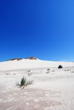 Grass on the desert. Lonely green grass growing on the sand dunes on the desert with blue sky background Stock Photos