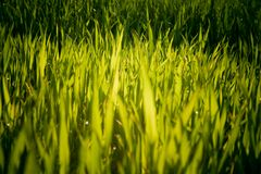 Grass detail. Detail of lighter green / yellowish colored grass Royalty Free Stock Photography