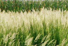 Grass Detail. Image of grass heads in morning light with river bed reeds in background Royalty Free Stock Image