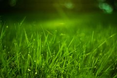 Grass. Detail of grass afer rainy weather with raindrops on stems Stock Photos