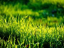 Grass. Detail of grass, bright colors Stock Photography