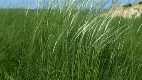 Grass develops in the wind stock footage