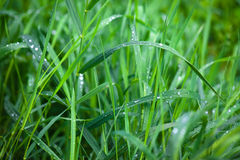 Grass in dew Stock Image