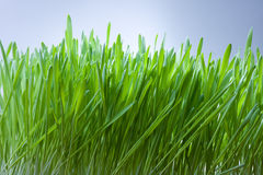 Grass with dew. And blue sky Royalty Free Stock Image