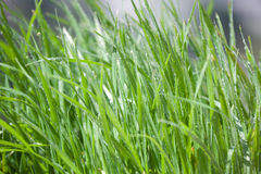 Grass with dew. Fresh and cool Royalty Free Stock Photography