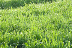 Grass in dew Stock Photography