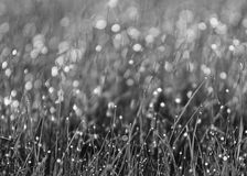 Grass & dew. Dew cling to the grass in the morning Royalty Free Stock Photo