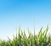Grass with dew Stock Image