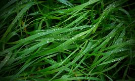 Grass dew Royalty Free Stock Photos