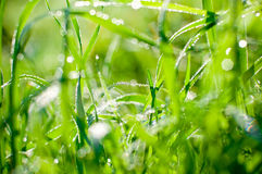 Grass and dew Stock Image