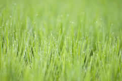 Grass with dew Royalty Free Stock Photo