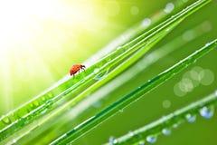 Grass with dew. And ladybird Stock Photos