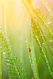 Grass with dew. And ladybird Stock Photo