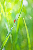 Grass with dew. And ladybird Royalty Free Stock Images