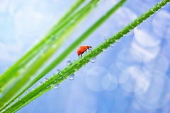 Grass with dew. And ladybird Royalty Free Stock Photography