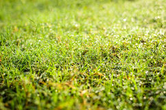 Grass with the dew Royalty Free Stock Photo