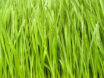A grass in dew. Green, fresh spring grass grown from the seeds Stock Image