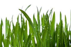Grass and dew Stock Photography