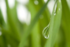 Grass and dew Royalty Free Stock Images