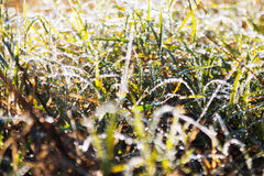 Grass with dew in autumn Stock Photos