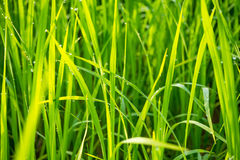 Grass with dew caught. Royalty Free Stock Photo