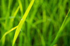 Grass with dew caught. Royalty Free Stock Photography
